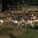 Wildlife Criminals ( These Deer Are Being Chased Illegally By A Dog )
