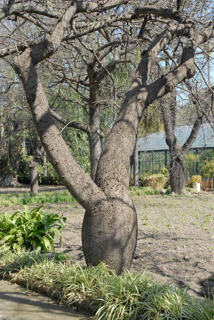 Le jardin botanique de palerme ceiba speciosa ou for Camping le jardin botanique limeray