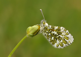 Female Orange Tip | by nigel kiteley2011