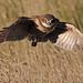 Burrowing Owl in Flight - 2586b+sg