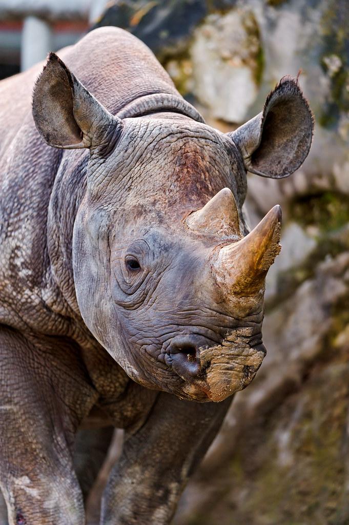 Portrait of a rhino | ...