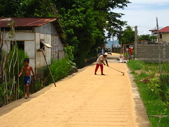 Drying of rice harvest on the road_Philippines