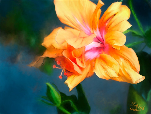 Image of a Peach Colored Hibiscus