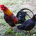 Chicken 雞