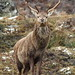Red Deer Stag in a Snow Shower (Cervus elaphus) 6524