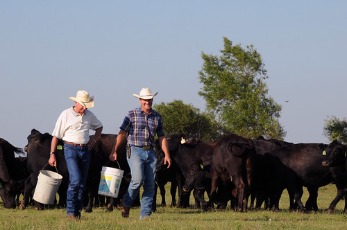 Oklahoma farmer Steve Burris feeding Angus cattle on his farm