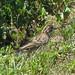 Lark Sparrow - RBA