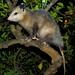 Opossum in my Lemon Tree
