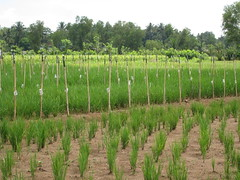 Effect of fertilizer on rice growth_ fertilizer was applied to the field in the back_Indonesia Pup1 breeding trial