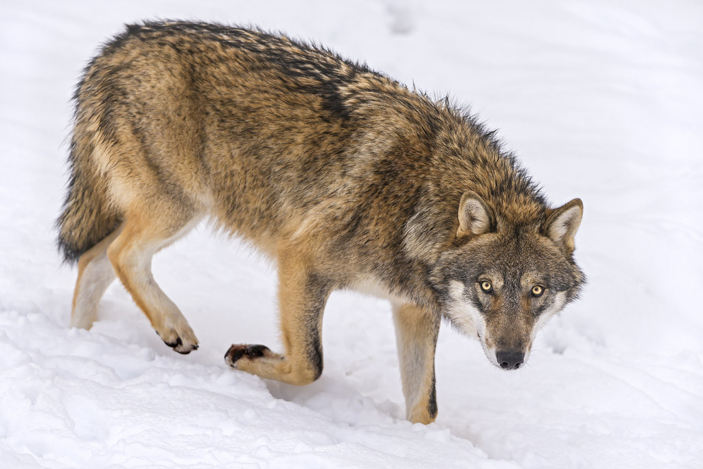 Wolf slowly walking in the snow | This wolf was walking in ...
