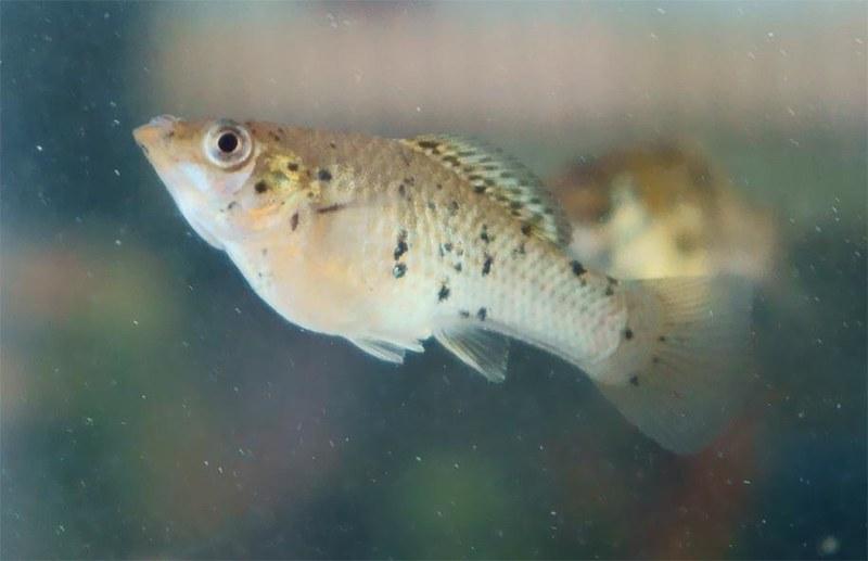 Мексиканская пецилия (Poecilia mexicana), фото фотография аквариумные рыбы
