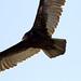 Injured Turkey Vulture