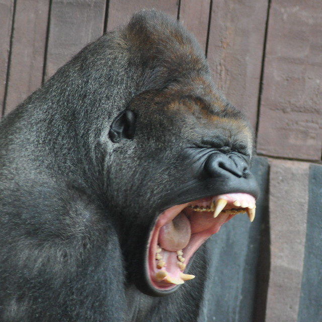 Kesho the Gorilla yawning | Flickr - Photo Sharing!