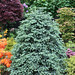 Abies pinsapo 'Glauca' (Spanish fir) in late spring