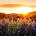 The Lupines at Sunset