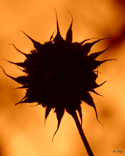 Displaying (20) Gallery Images For Sunflower Silhouette...