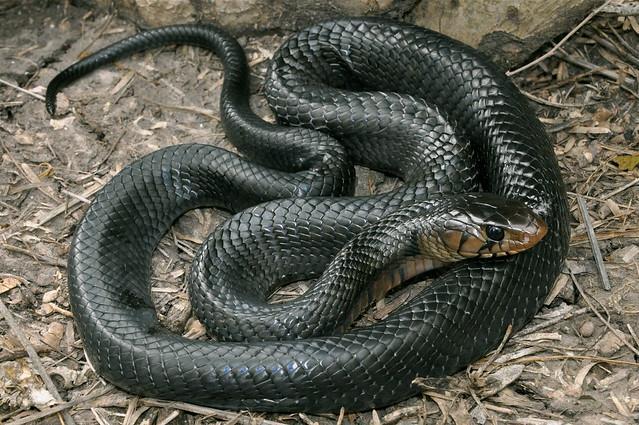 Texas indigo snake drymarchon melanurus erebennus from Garden snakes in texas