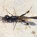 Vespa // Gasteruptiid Wasp (Gasteruption sp.)