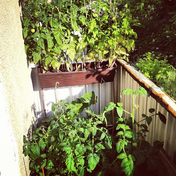 gr ne h lle auf dem balkon tomaten zuchinini fitz carraldo flickr. Black Bedroom Furniture Sets. Home Design Ideas