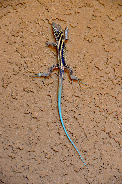 blue tailed skink coloring pages - photo#38