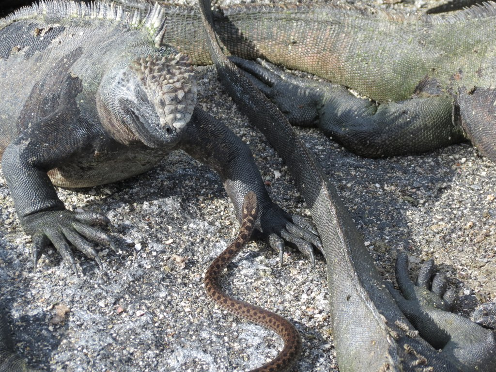 Marine Iguana And Galapagos Snake Jim Moulton Flickr
