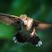 Adult Female Ruby-throated Hummingbird .  #4