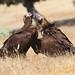 O beijo do Abutre preto / The Cinereous Vulture's kiss