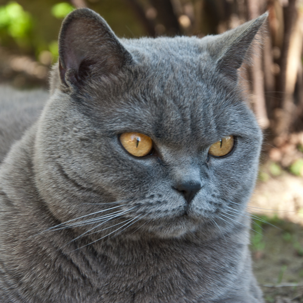 British Blue Cat Personality