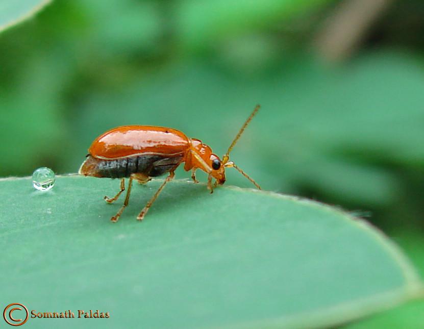 Gray Bugs On My Pumpkins : Id pls bug at my butterfly garden pumpkin beetle flickr