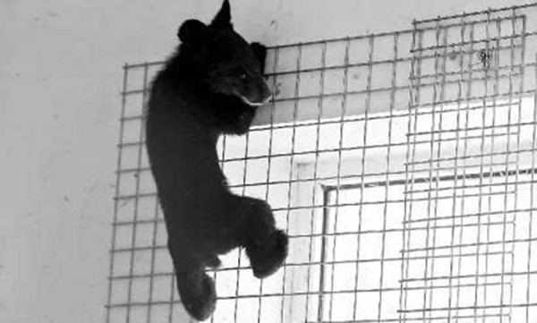 Black bear cub in less than 6 months into the downtown district of Changchun, multi-sectoral spending 4 hours to capture