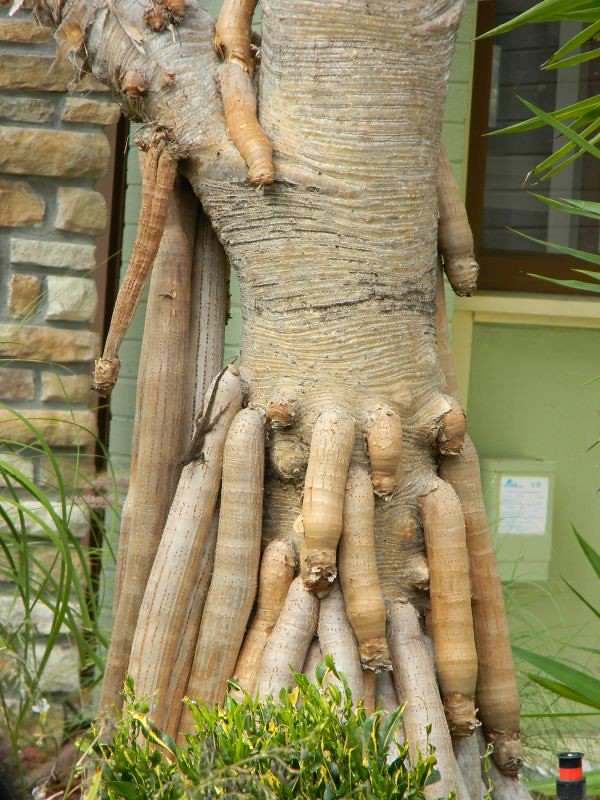 Tree Penis 40