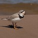 Rare Piping Plover