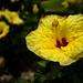 Hawiian Hibiscus