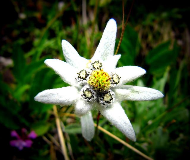 Risultato immagine per stella alpina