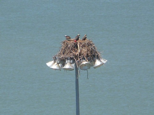 1osprey nest marina chainey richmond | by Contra Costa Times