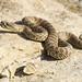 Prairie Rattlesnake - Crotalus viridis - Juvenile