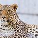 Lying Persian leopard