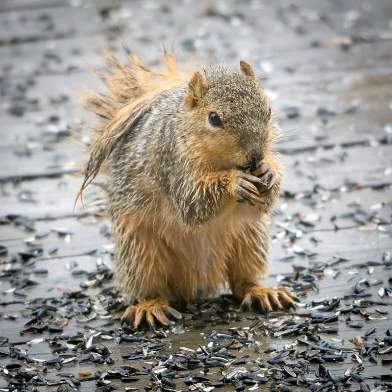 Spring Showers Bring Wet Basements: Spring Showers Bring Wet Squirrels