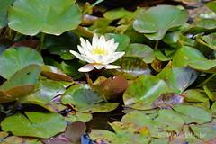 Nymphaea Mandarin 1991