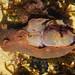 Vinagreira-negra ou Lebre-do-mar-negra  // Sea Slug (Aplysia fasciata)