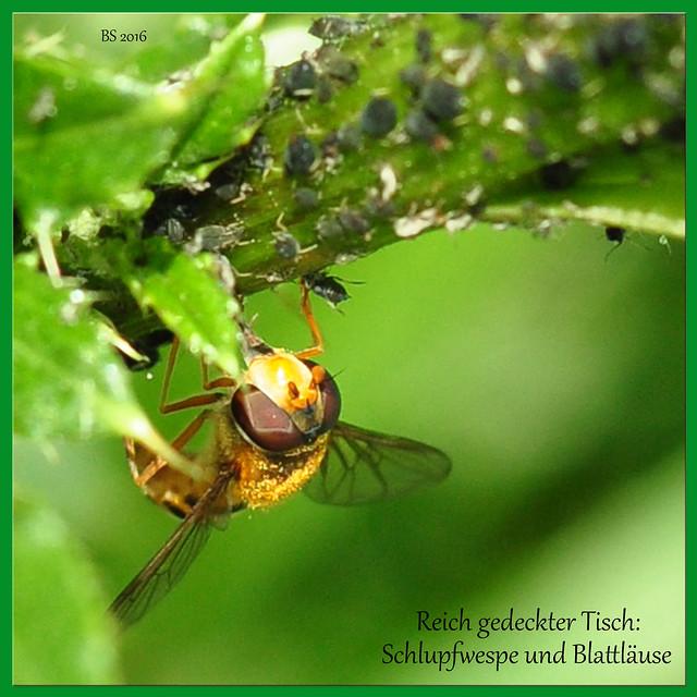 Diese Schlupfwespe hat sich auf einer von Blattläusen besonders stark bevölkerten Pflanze niedergelassen; der Tisch ist überreich gedeckt. Eine Laus hat sie sich bereits gegrabscht. Foto: Brigitte Stolle Mai 2016