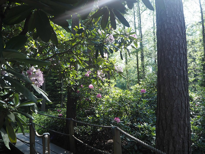 rodopuistoP6015517, rhodopuisto, alppiruusupuisto, haaga, huopalahti, helsinki, suomi, finland, visit helsinki, tips, retki, nature, alppiruusu,rhododendron, haaga, rodopuisto, rhododendron park, alppi ruusut, kukat, flowers, haagan alppiruusupuisto, alppi ruusut, alpine roses, pink flowers, pink alpinen roses,