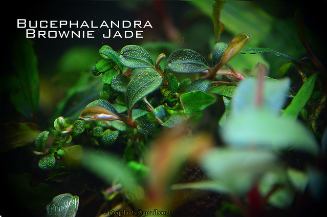 [Classify] Bucephalandra sp. Brownie varieties 7446128828 2afc33b643 z