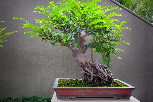 Bonsai at Nan Lian Garden_5764 | by hkoons