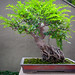 Bonsai at Nan Lian Garden_5764