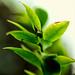 Broto de flor de jabuticabeira