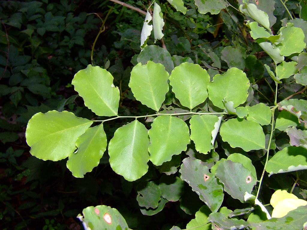 Dalbergia Latifolia Leaves Shisam Shinshap Indian Rosewood
