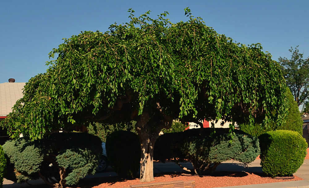 Weeping mulberry tree cj the male is the one they will al flickr - Comment tailler un murier ...