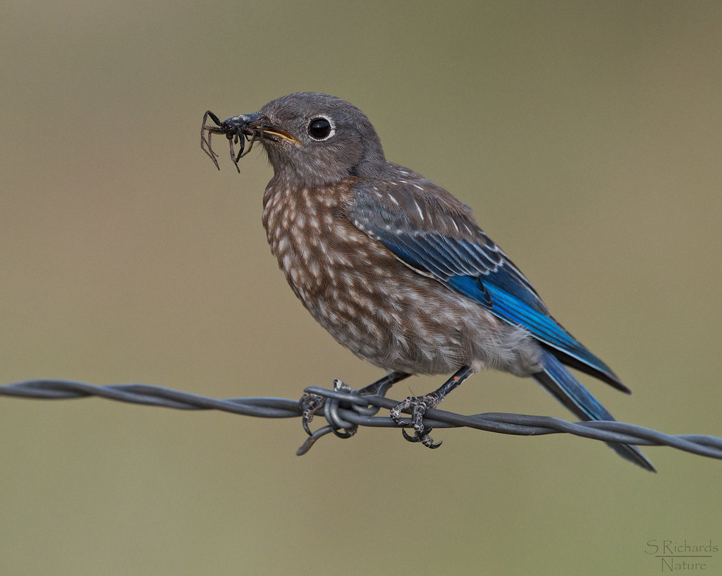 Western Bluebird Juvenile From An Earlier Brood She