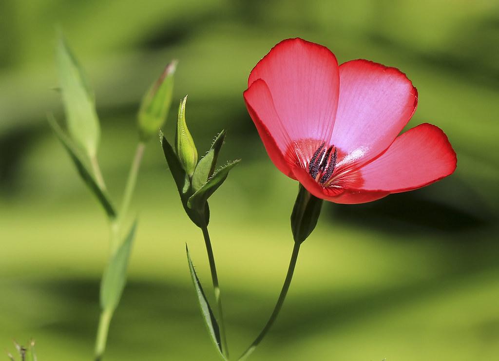 Red Poppy Bokeh